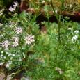 イタリアンパセリの花